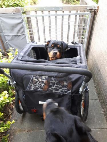 Isa in de hondenbuggy