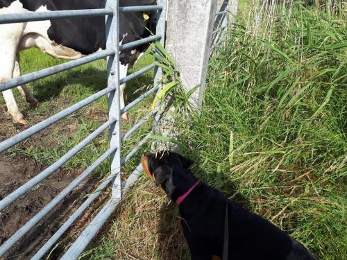 Eerste kennismaking Isa met de koeien
